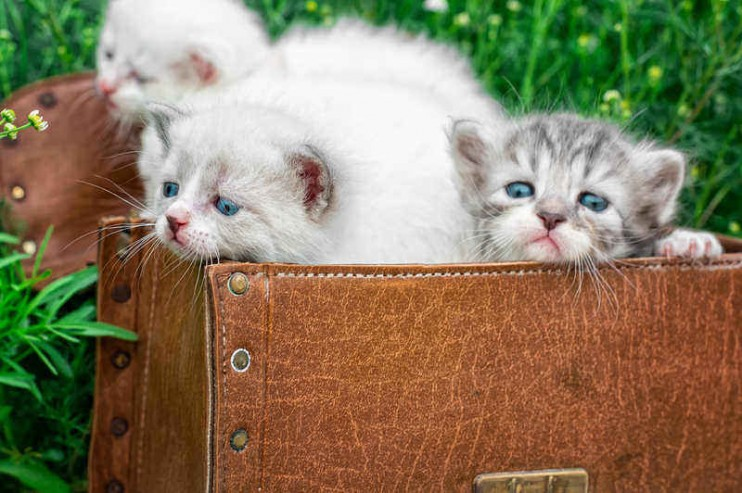 little kittens playing in old suitcase